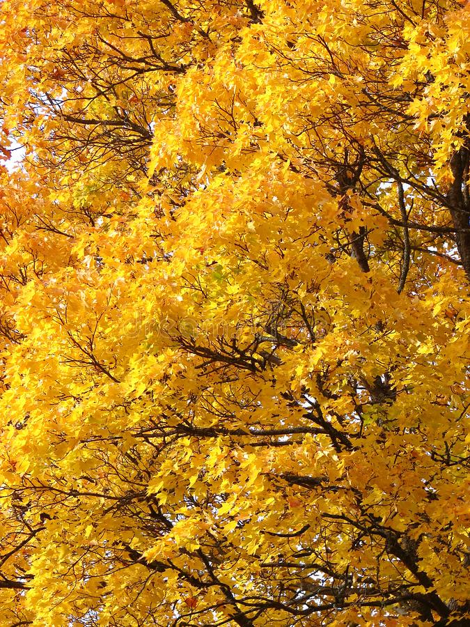Gele Esdoornbladeren op dalings natuurlijke achtergrond stock afbeeldingen
