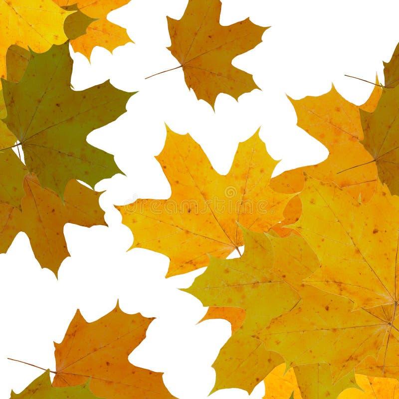 Gele esdoornbladeren over witte achtergrond stock fotografie
