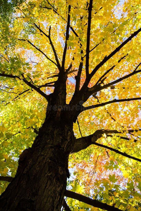 Gele esdoornboom in de herfst royalty-vrije stock fotografie