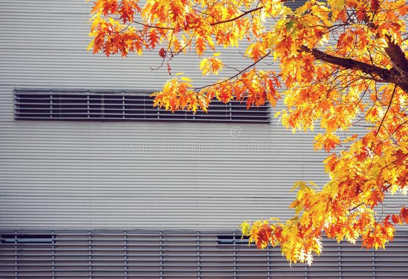 Gele esdoornboom tegen metaal stedelijke muur stock foto's