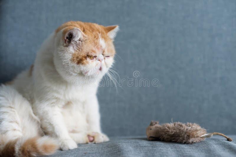 gele Exotische shorthairkat en valse muis royalty-vrije stock foto