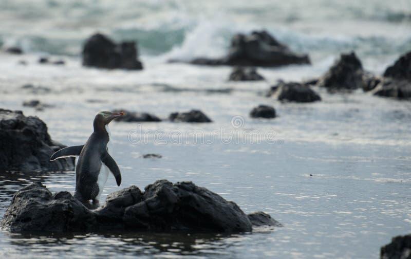 Gele eyed pinguïn bij de baai zuidelijke kust van het Curiosum in zuideneiland Nieuw Zeeland. stock afbeelding
