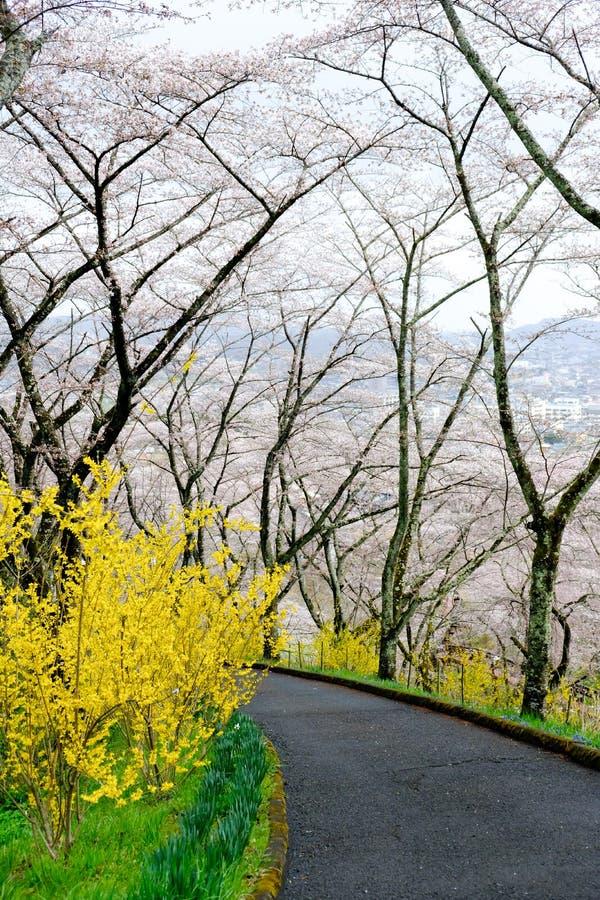 Gele Forsythia en kersenbomen langs de gang in Shibata, Miyagi, Tohoku, Japan tijdens de lente stock afbeelding
