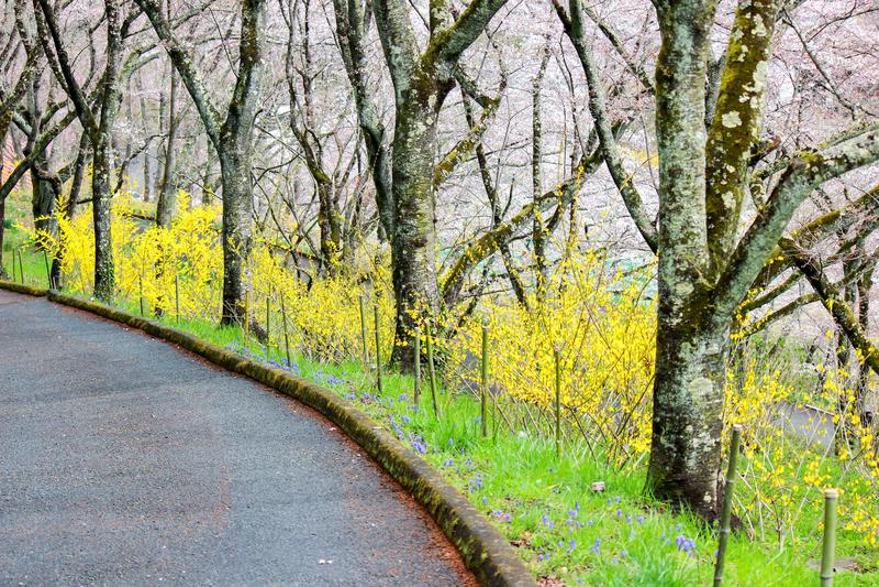 Gele Forsythia en kersenbomen langs de gang in Shibata, Miyagi, Tohoku, Japan tijdens de lente royalty-vrije stock afbeelding