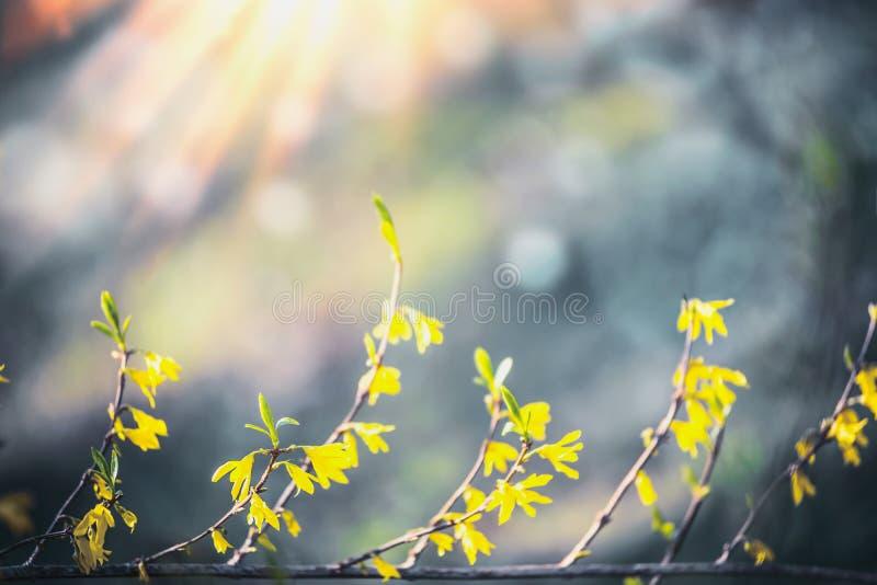 Gele forsythiabloesem bij vage achtergrond met bokeh en zonneschijn De aard van de lente E openlucht stock foto's