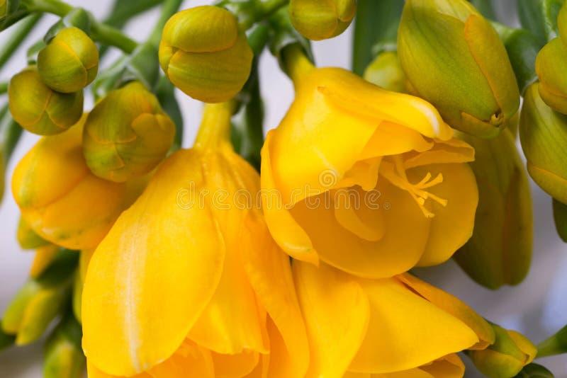 Gele fresiabloemen royalty-vrije stock afbeeldingen