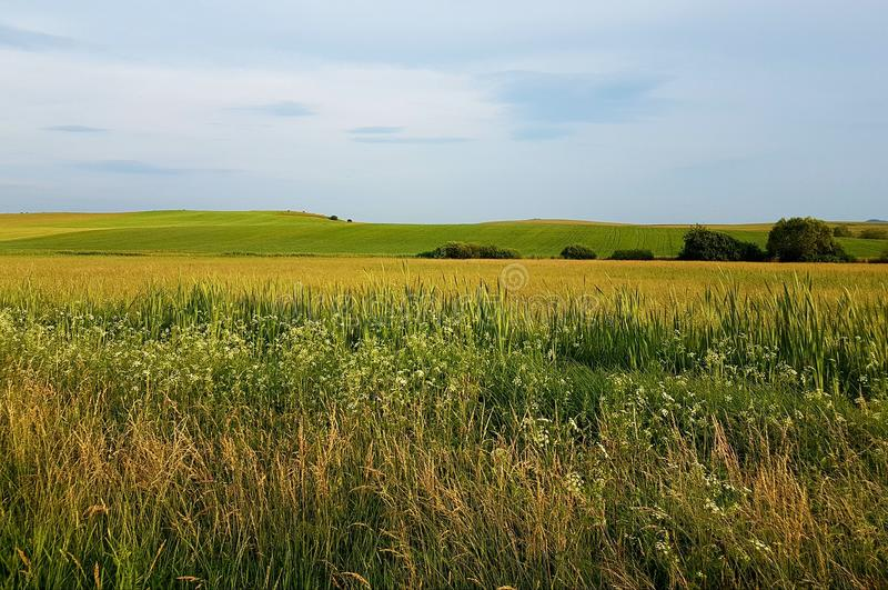 Gele gebieden van gras met blauwe hemel en bergen op achtergrond Kleine bomen, de zomertijd royalty-vrije stock foto's