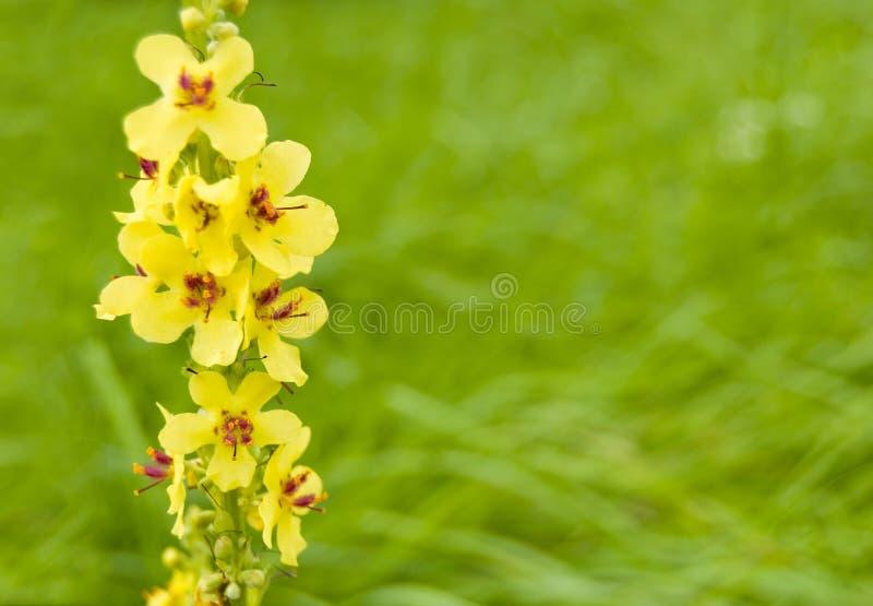 Gele gebiedsbloem 'Mullein-zwarte ' stock afbeeldingen