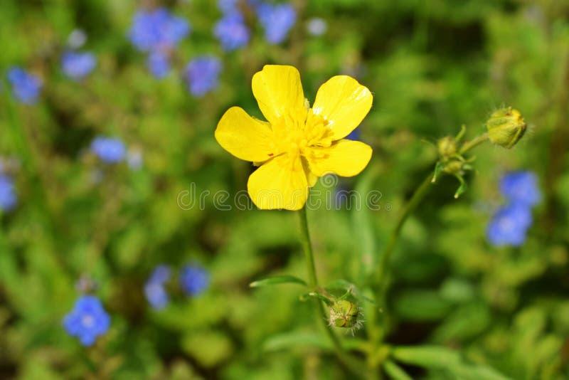 Gele gebiedsboterbloem stock foto
