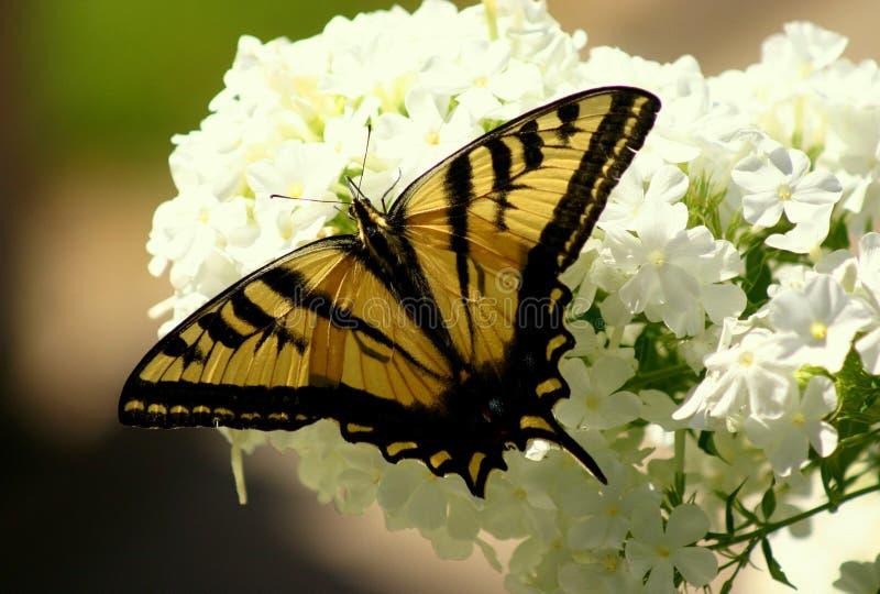 Gele gecanneleerde swallowtailvlinder royalty-vrije stock foto's