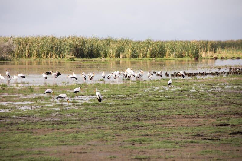 Gele gefactureerde ooievaar in moerasland, Meer Manyara, Tanzania royalty-vrije stock afbeelding