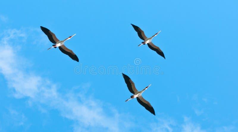 Gele gefactureerde ooievaars die in de hemel vliegen - de nationale reserve van het park selous spel in Tanzania royalty-vrije stock afbeelding