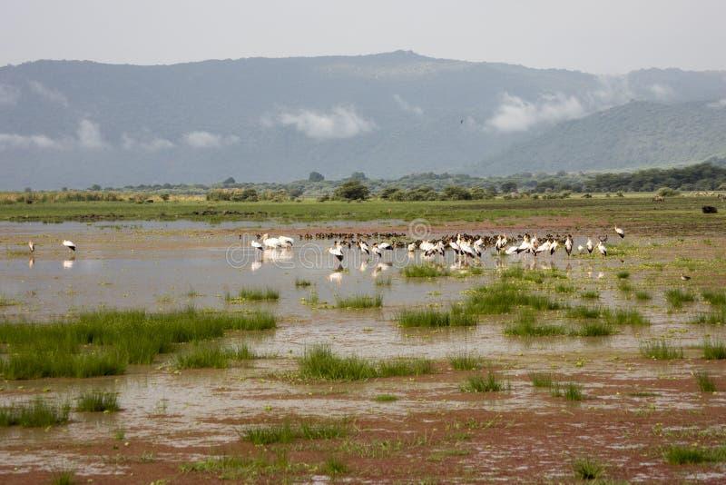 Gele gefactureerde ooievaars en Egyptische ganzen in moerasland, Meer Manyar royalty-vrije stock foto's