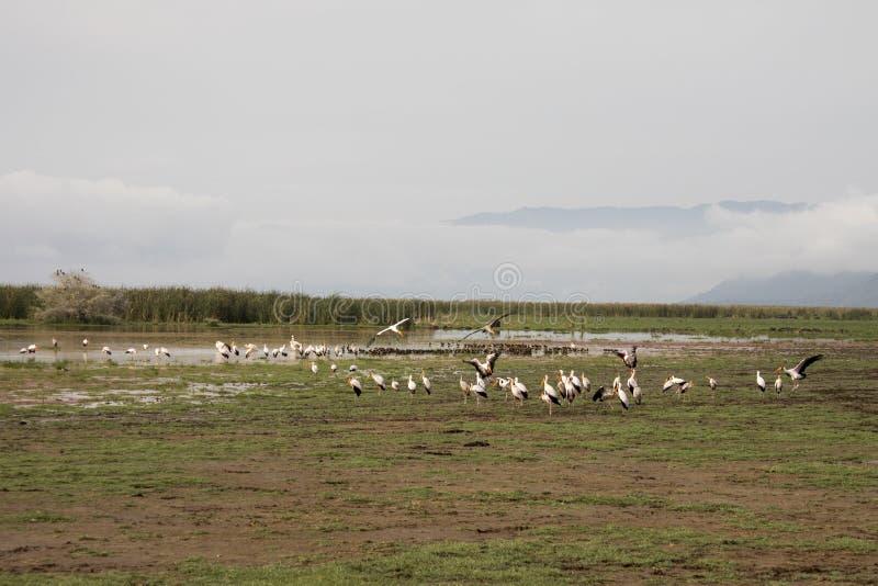 Gele gefactureerde ooievaars in moerasland, Meer Manyara, Tanzania royalty-vrije stock foto