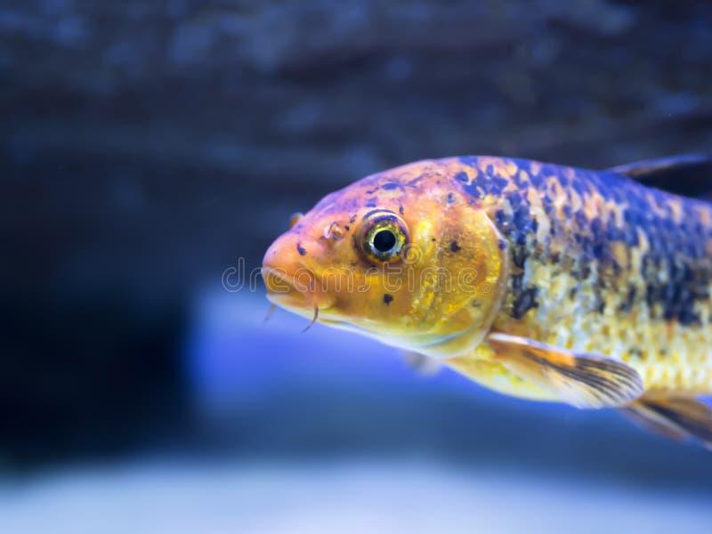 Gele gekleurde tropische goudvis die zich in aquarium bevindt stock afbeelding