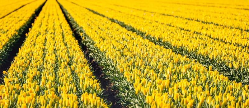 Gele gekleurde tulpenbloemen in lange convergerende rijen stock afbeeldingen