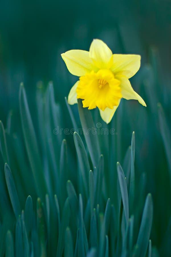 Gele gele narcis stock foto