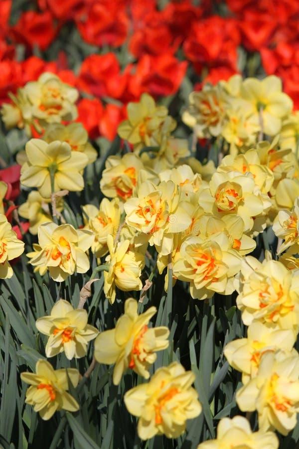 Gele gele narcissen en rode tulpen in Keukenhof-bloemtuin royalty-vrije stock foto