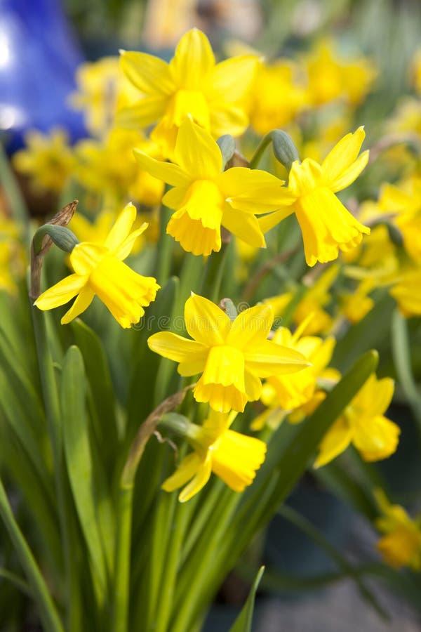 Gele gele narcissen - narcissenbloemen stock fotografie