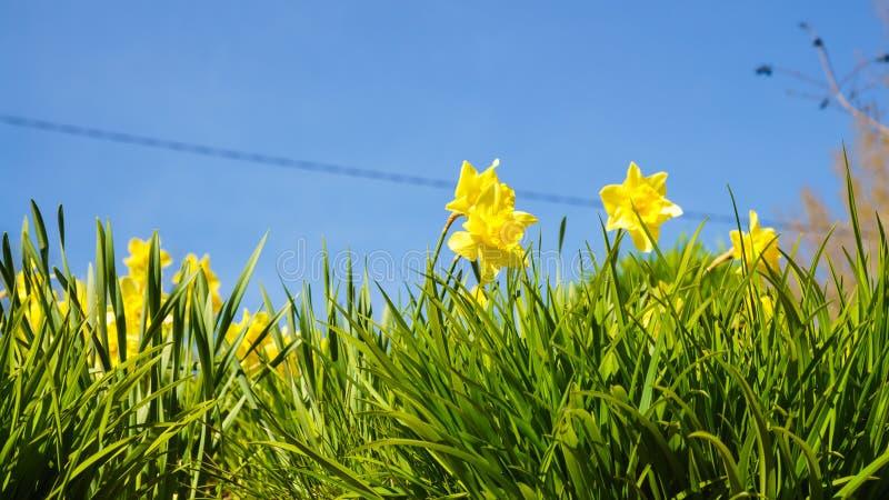 Gele gele narcissenbloemen in tuin Aardmacro royalty-vrije stock fotografie