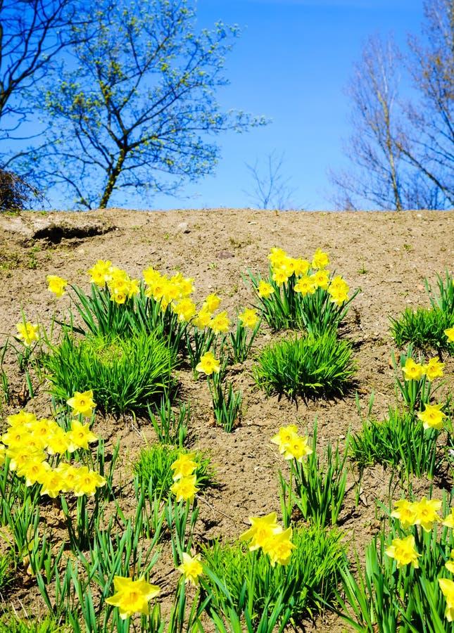 Gele gele narcissenbloemen in tuin nave stock foto's
