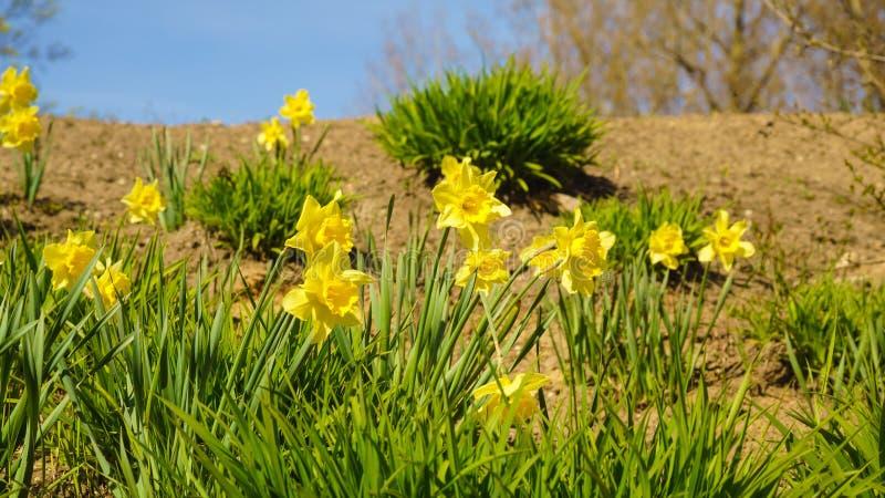 Gele gele narcissenbloemen in tuin nave stock fotografie