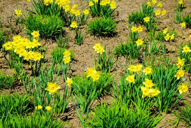 Gele gele narcissenbloemen in tuin nave stock foto