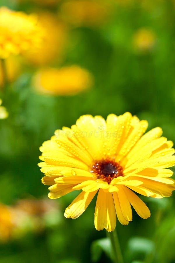 Download Gele gerberbloem stock foto. Afbeelding bestaande uit schoonheid - 29501500
