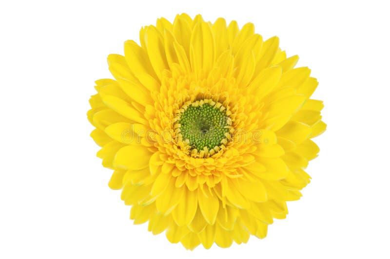 Gele gerberbloem royalty-vrije stock afbeeldingen