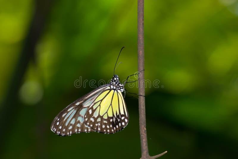 Gele glazige tijgervlinder stock foto's