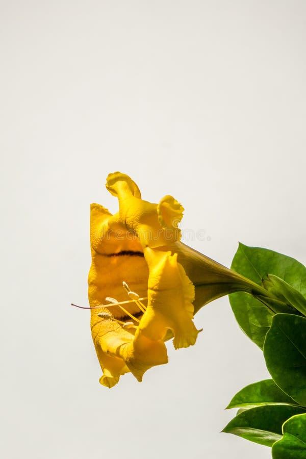 Gele Gouden de Maximabloem van Wijnstoksolandra royalty-vrije stock fotografie