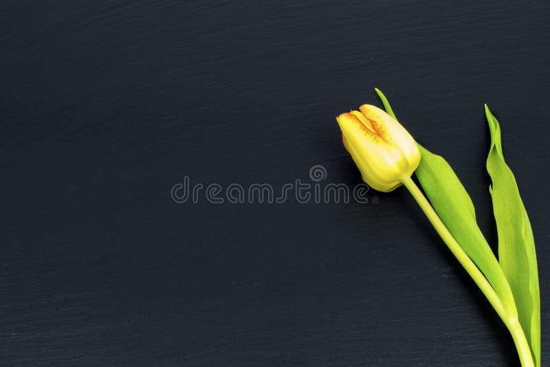 Gele gouden tulp op zwarte achtergrond stock afbeelding