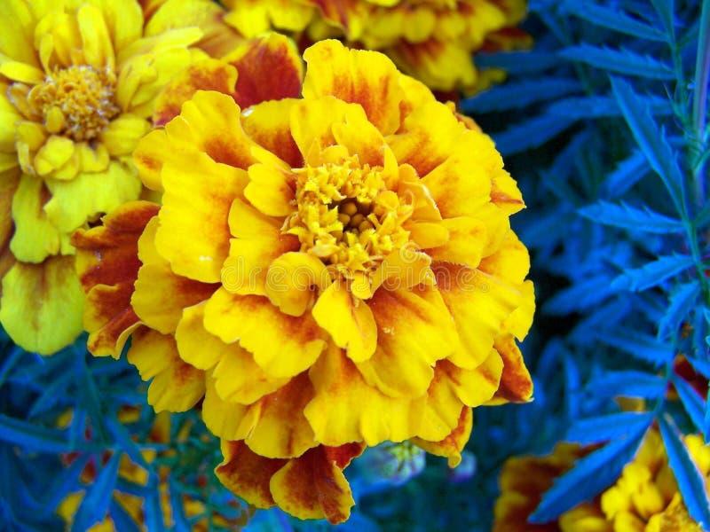 Gele goudsbloem stock afbeeldingen