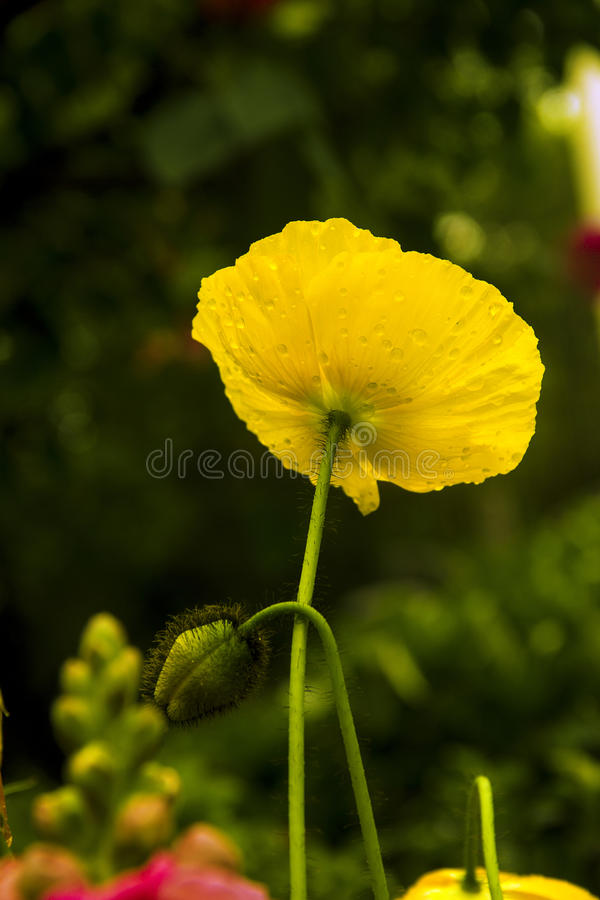 Gele graanpapaver royalty-vrije stock fotografie