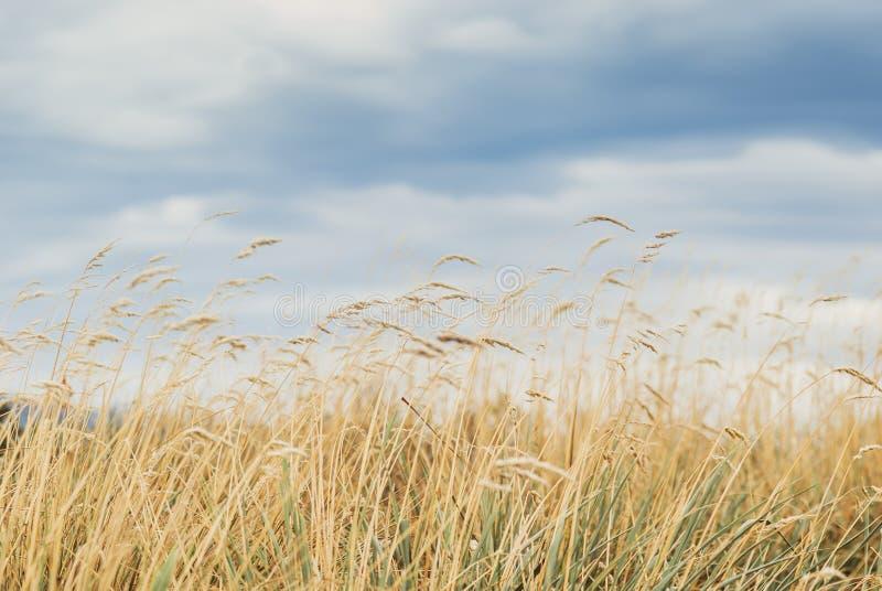 Gele grassen tegen blauwe hemel royalty-vrije stock afbeeldingen
