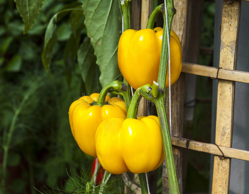Gele groene paprika's stock fotografie