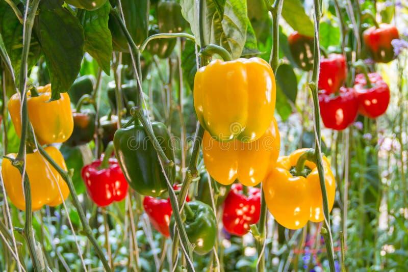 Gele groene paprika's royalty-vrije stock fotografie