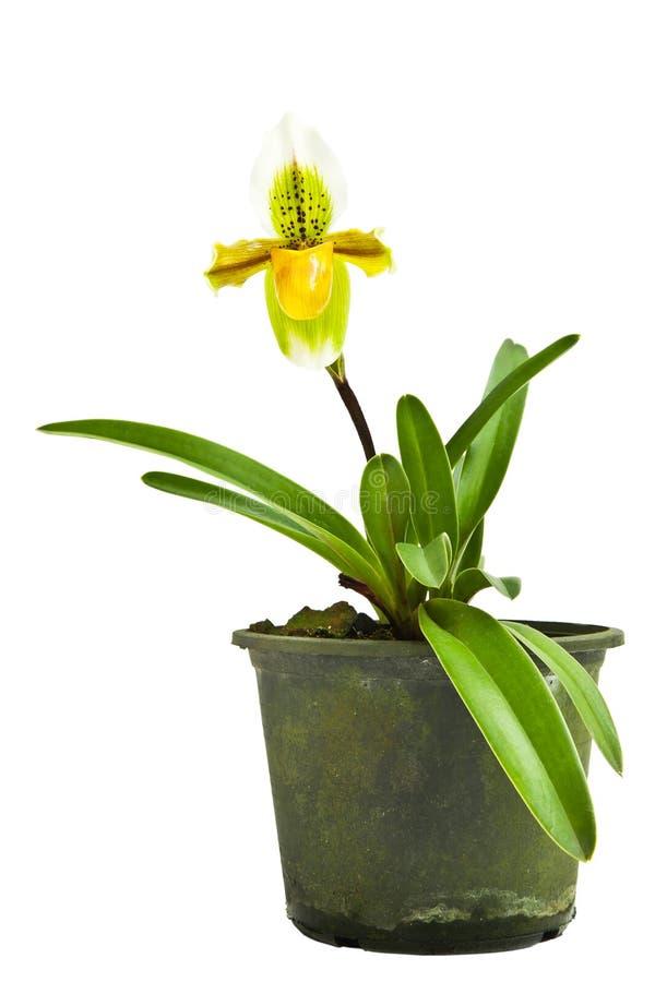 Gele grondorchidee royalty-vrije stock fotografie
