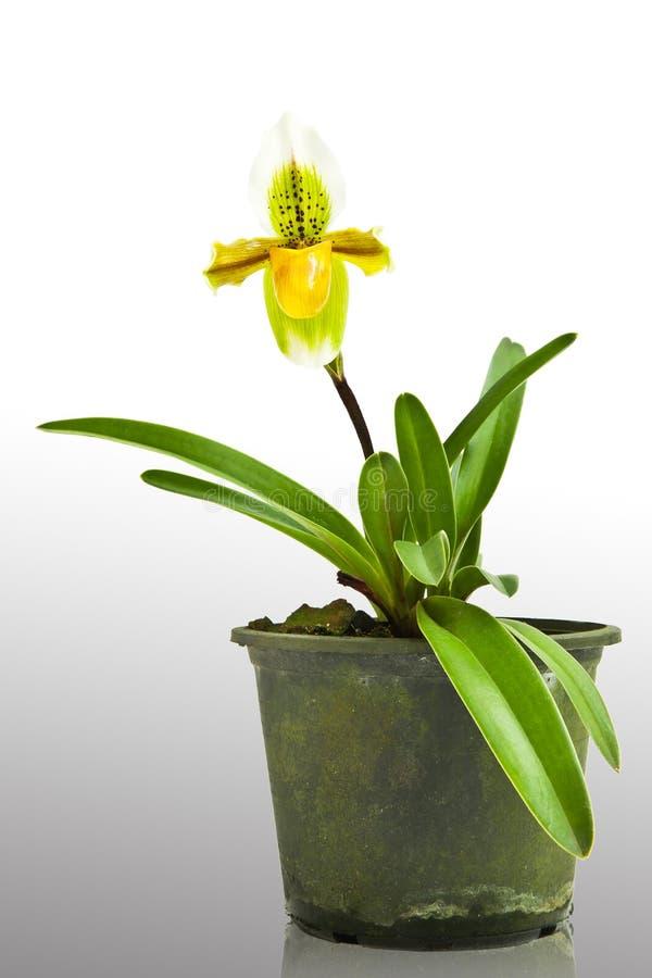 Gele grondorchidee stock afbeeldingen