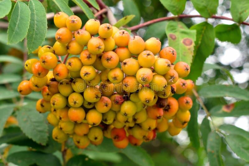 Gele grote clusters van een lijsterbes in tuin De herfstoogst van bessen stock afbeeldingen
