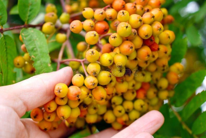 Gele grote clusters van een lijsterbes in tuin De herfstoogst van bessen stock fotografie