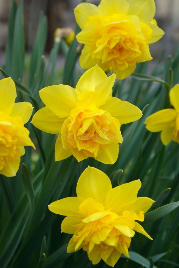 Gele grote narcissenbloemen royalty-vrije stock afbeelding