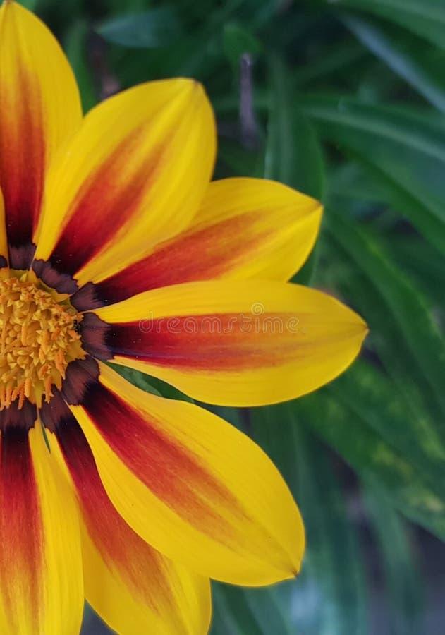 Gele halve eenvoudige bloem Gazania Rigens - close-up stock foto