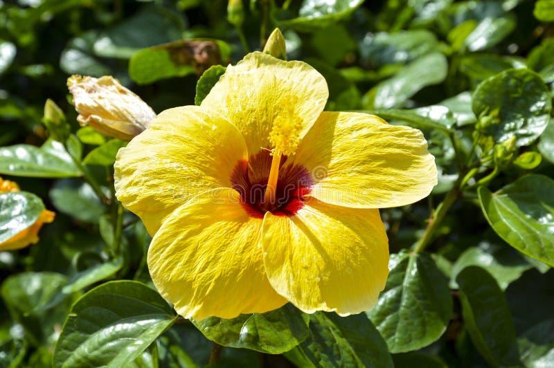 Gele heldere bloem van rosa van de hibiscushibiscus sinensis op groene achtergrond stock fotografie