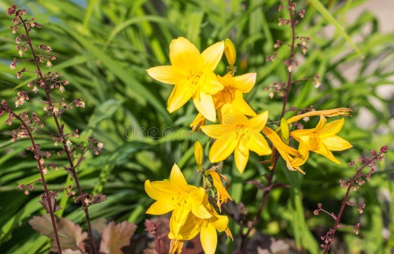 Gele heldere bloemen, citron dag-lelie of lange gele dag-lelie stock foto