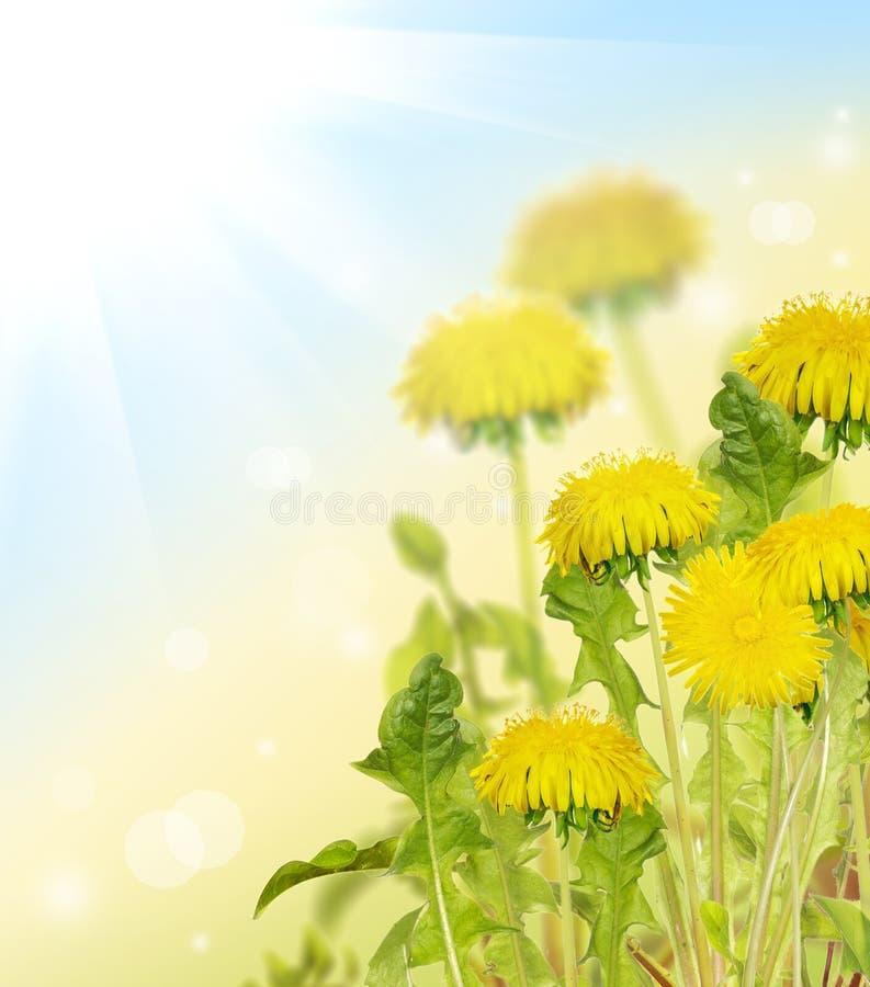 Gele heldere paardebloembloemen onder zon royalty-vrije stock foto
