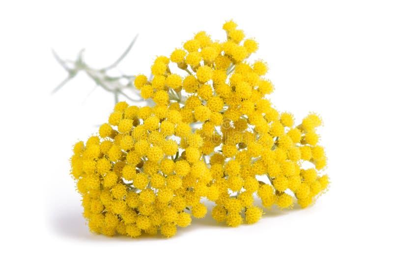Gele helichrysumbloemen