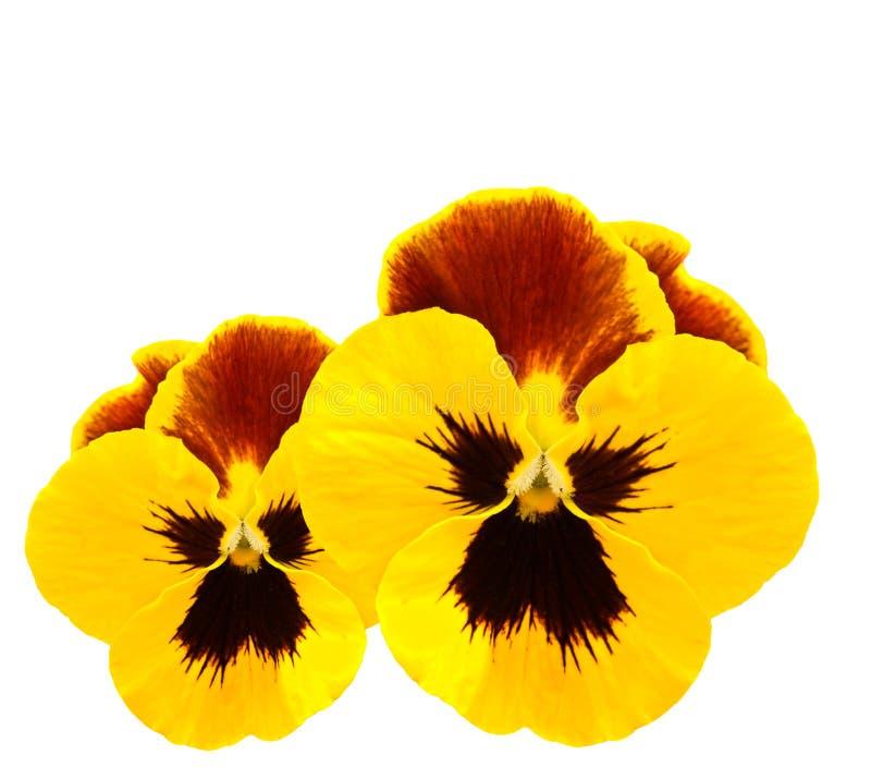 Gele het viooltjebloem van de pansieswinter stock afbeelding