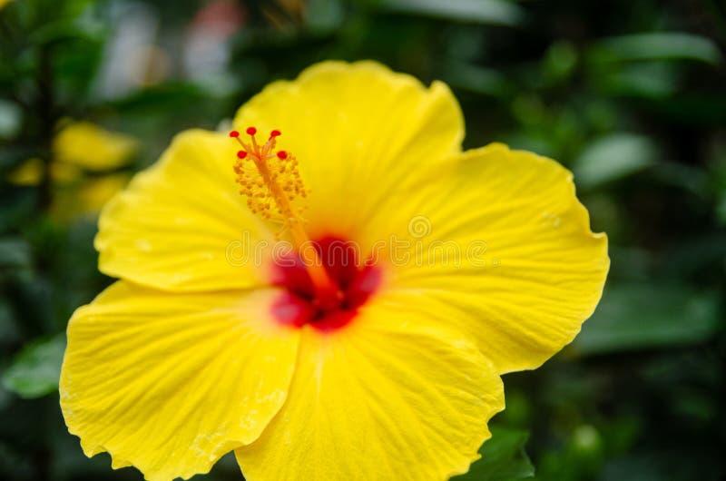 Gele hibiscus of rozenmallow stock foto
