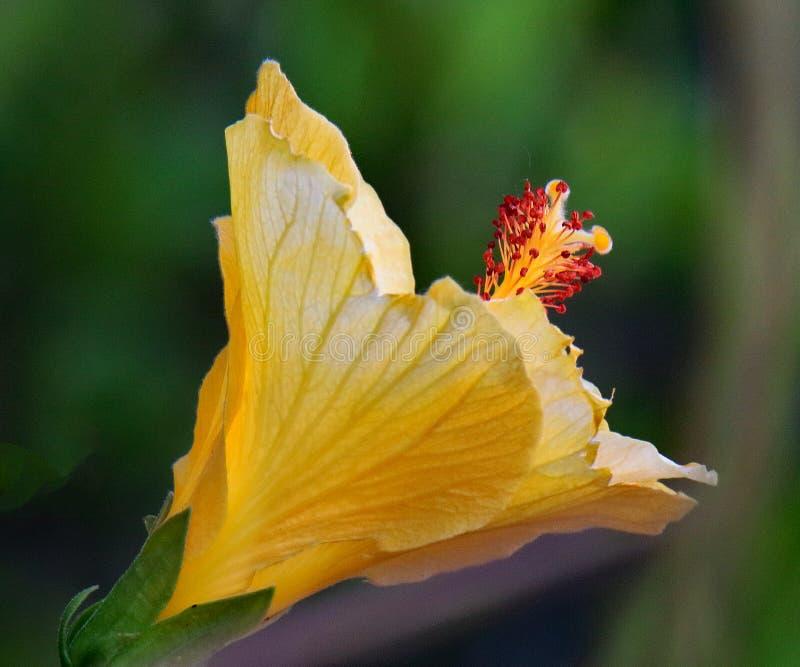 Gele Hibiscusbloem met groene achtergrond stock foto's